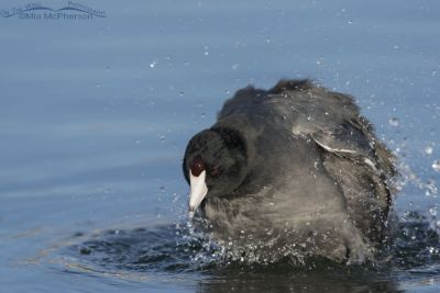 American Coot shaking while taking a bath