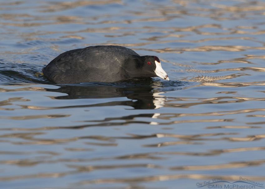 American Coot patrolling a pond