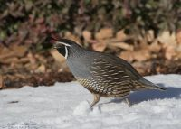 Male California Quail running in snow