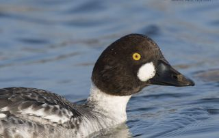 Close up of a first winter Common Goldeneye drake