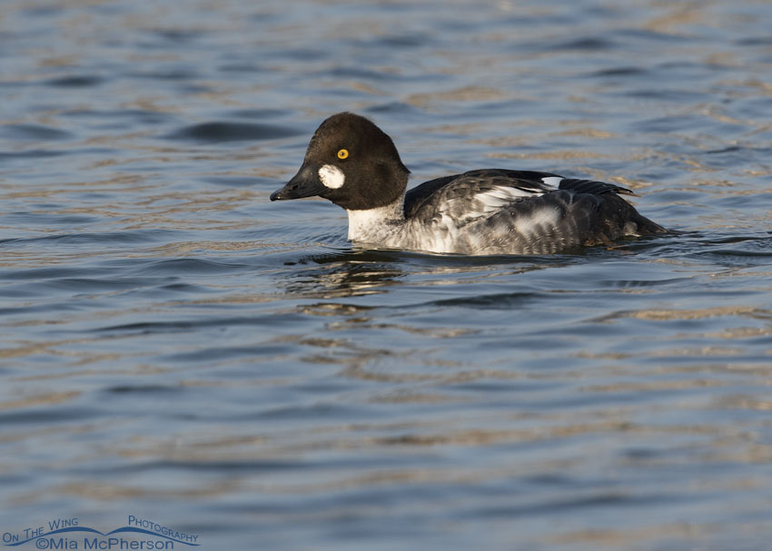 1st winter male Common Goldeneye in Salt Lake County