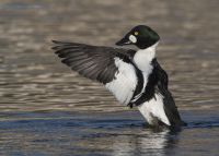 Male Common Goldeneye flapping his wings