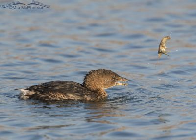 Pied-billed Grebe with Crayfish in mid air