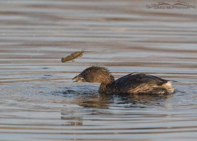 Pied-billed Grebe tossing a crayfish into the air