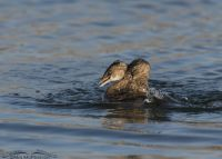 Two Pied-billed Grebes fighting
