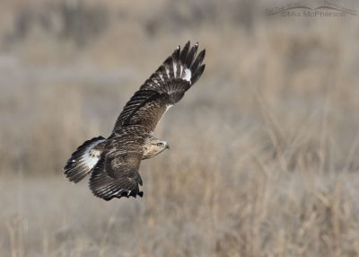 Immature Rough-legged Hawk in flight over a field