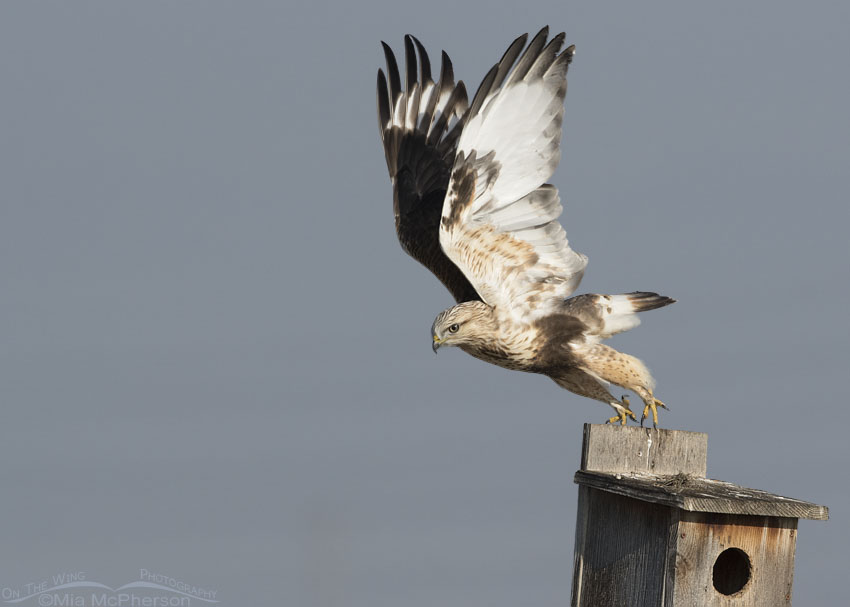 Immature Rough-legged Hawk lifting off from a nest box