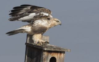 Immature Rough-legged Hawk on nest box with lunch
