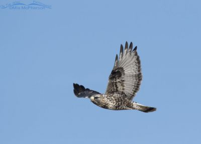 Male Rough-legged Hawk in flight in a clear blue sky