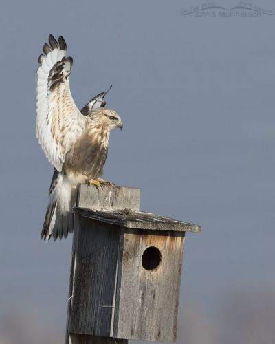 Immature Rough-legged Hawk landing pose