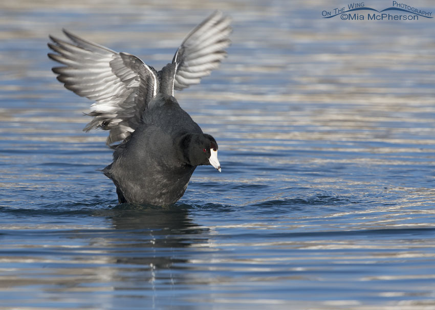 American Coot shaking its wings after taking a bath