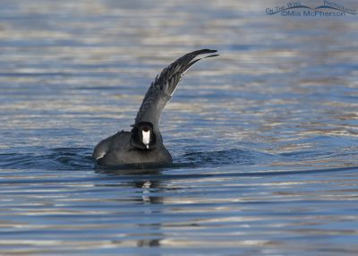 American Coot with one wing raised after taking a bath