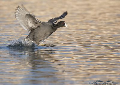 American Coot chasing another coot out of its territory