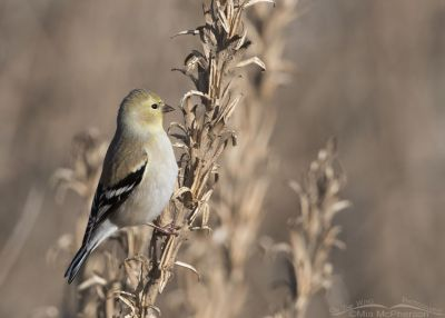 Bear River MBR American Goldfinch in winter plumage