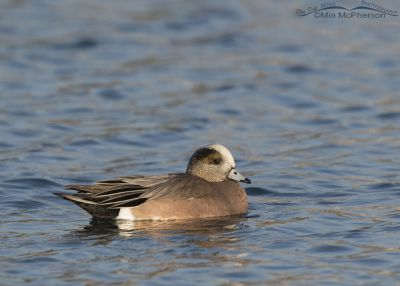 American Wigeon drake on a sunny afternoon