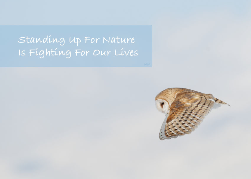 Barn Owl in flight - Standing Up for Nature
