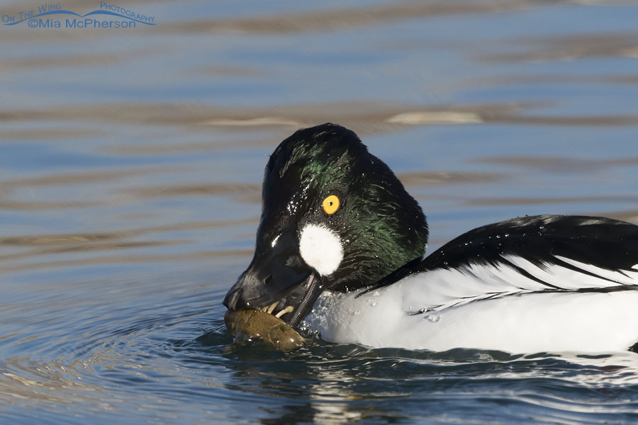 Close up view of a drake Common Goldeneye with a crayfish and lamellae