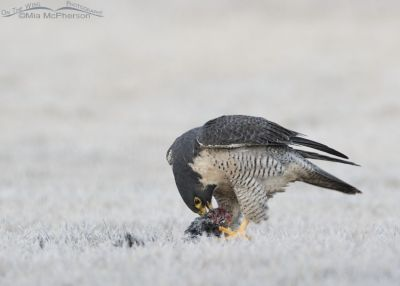 Peregrine Falcon tearing into a frozen American Coot