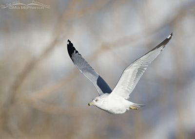 Ring-billed Gull in flight in late afternoon light