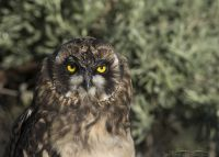 Young Short-eared Owl