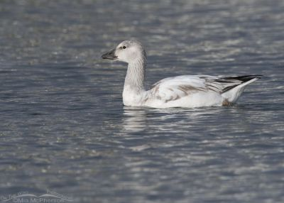 Immature Snow Goose in afternoon light