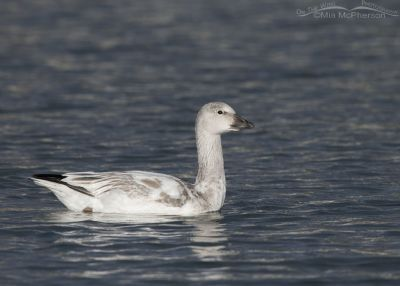 Immature Snow Goose in Salt Lake County