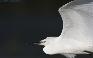Snowy Egret close up flyby