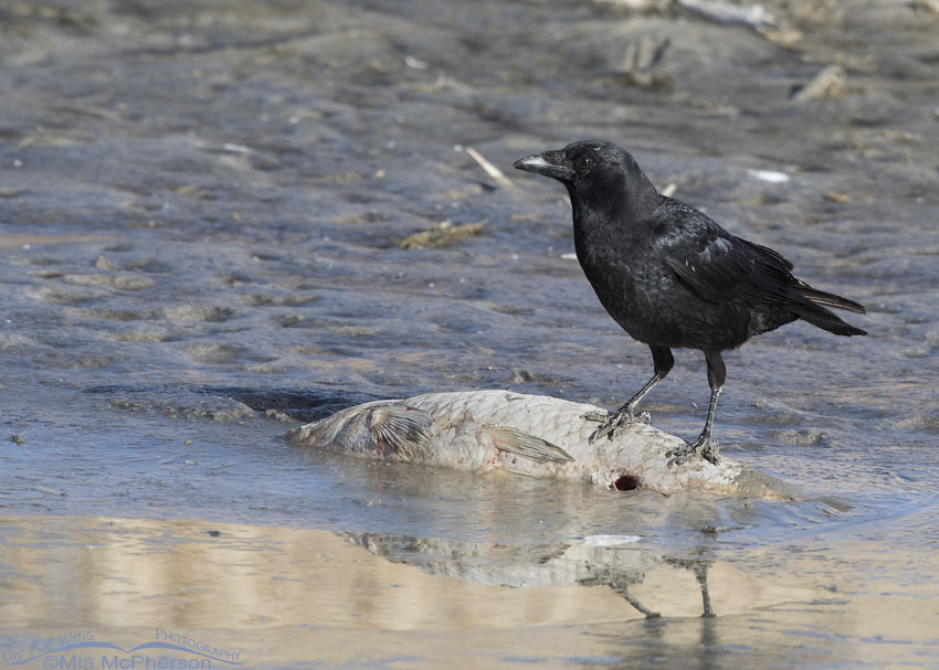American Crow standing on a dead Asian Carp