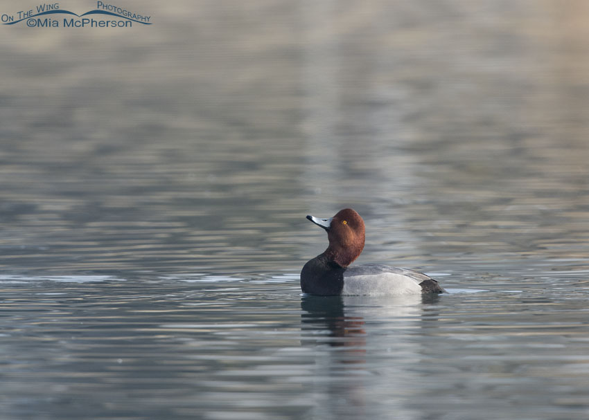 Drake Redhead beginning the Head-throw courtship display