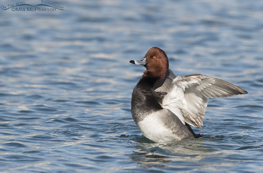 Drake Redhead flapping his wings after preening