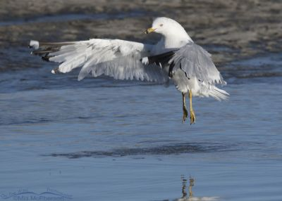 Ring-billed Gull leaping after a bath