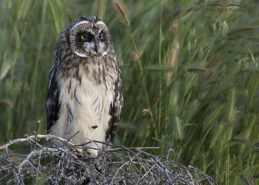 Cloud passing over a Short-eared Owl fledgling