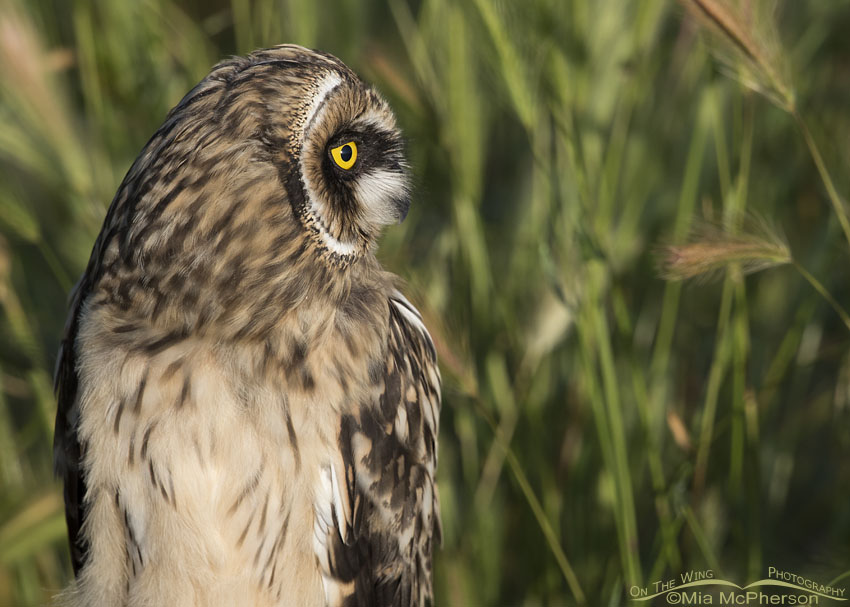 Side view of a Short-eared Owl fledgling