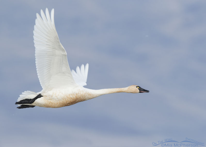 Tundra Swan adult flying by