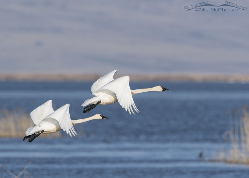 Two Tundra Swans flying over Bear River MBR