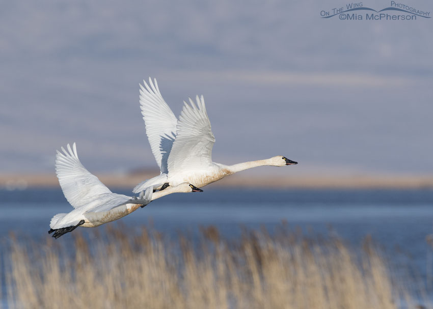 Tundra Swan pair in flight