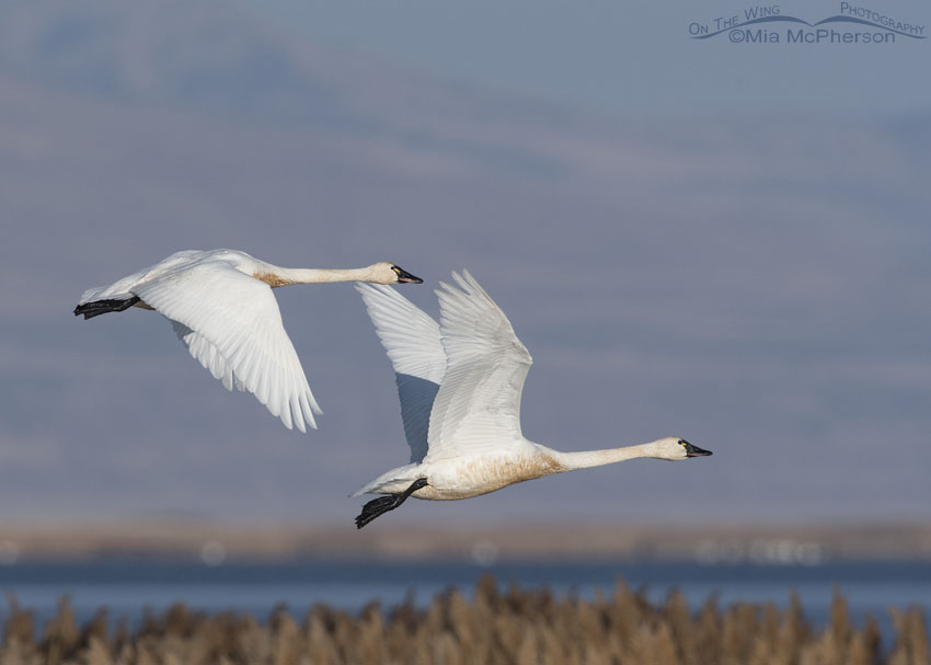 Tundra Swan duo in flight