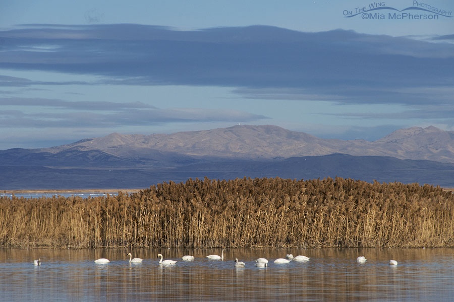 Tundra Swans in the landscape of Bear River MBR