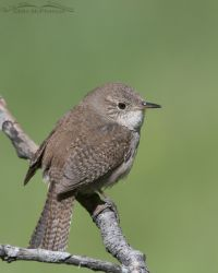 House Wren with a green background