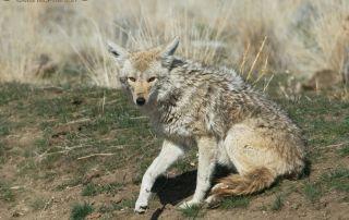 Lazy Coyote in Utah