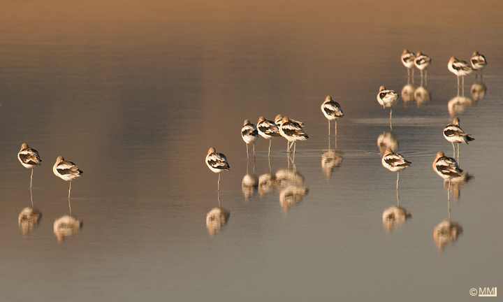 A flock of resting American Avocets