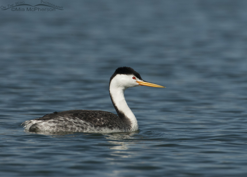 Clark's Grebe at a pond near home