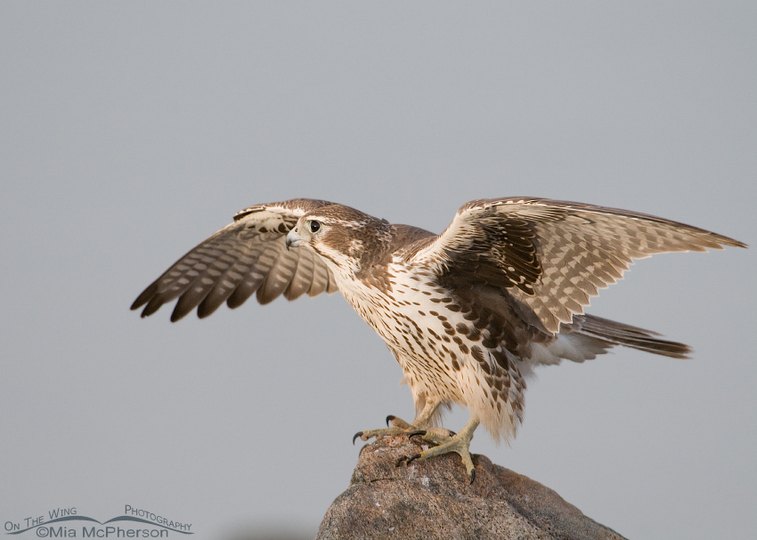 Young Prairie Falcon getting ready for lift off