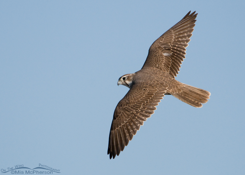 Dorsal view of a Prairie Falcon