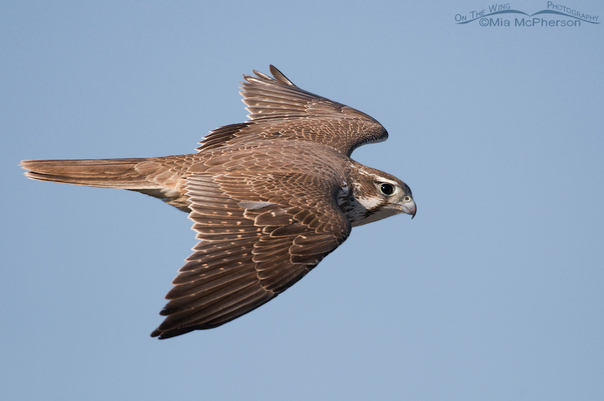Full frame flight image of a Prairie Falcon