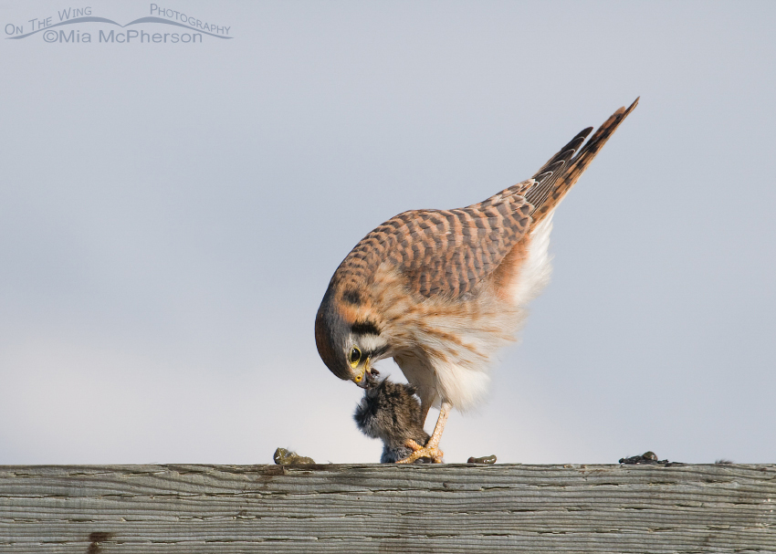 American Kestrel really tugging at the vole