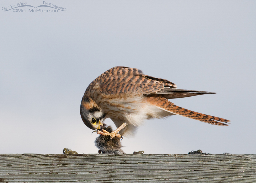 Female American Kestrel eating a vole