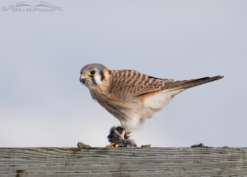 Kestrel with her prey