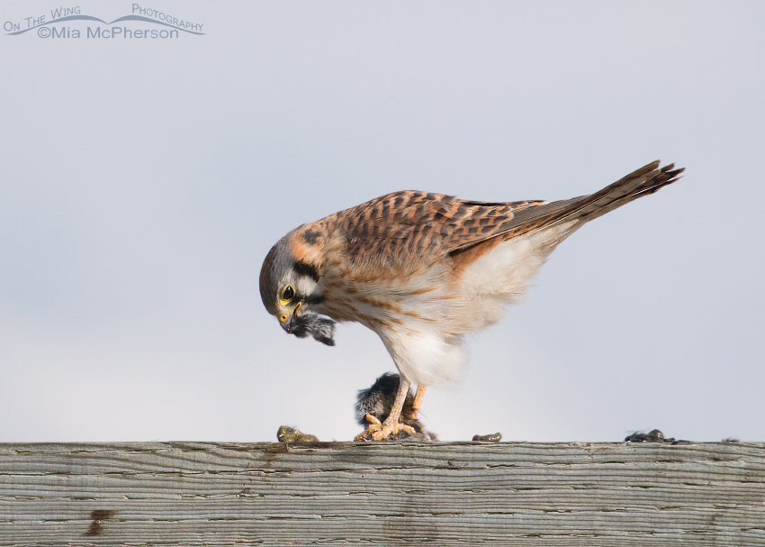 A kestrel with a beak full of prey