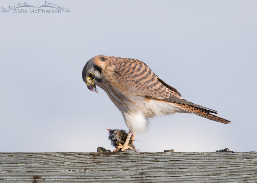 Female American Kestrel with an appetite